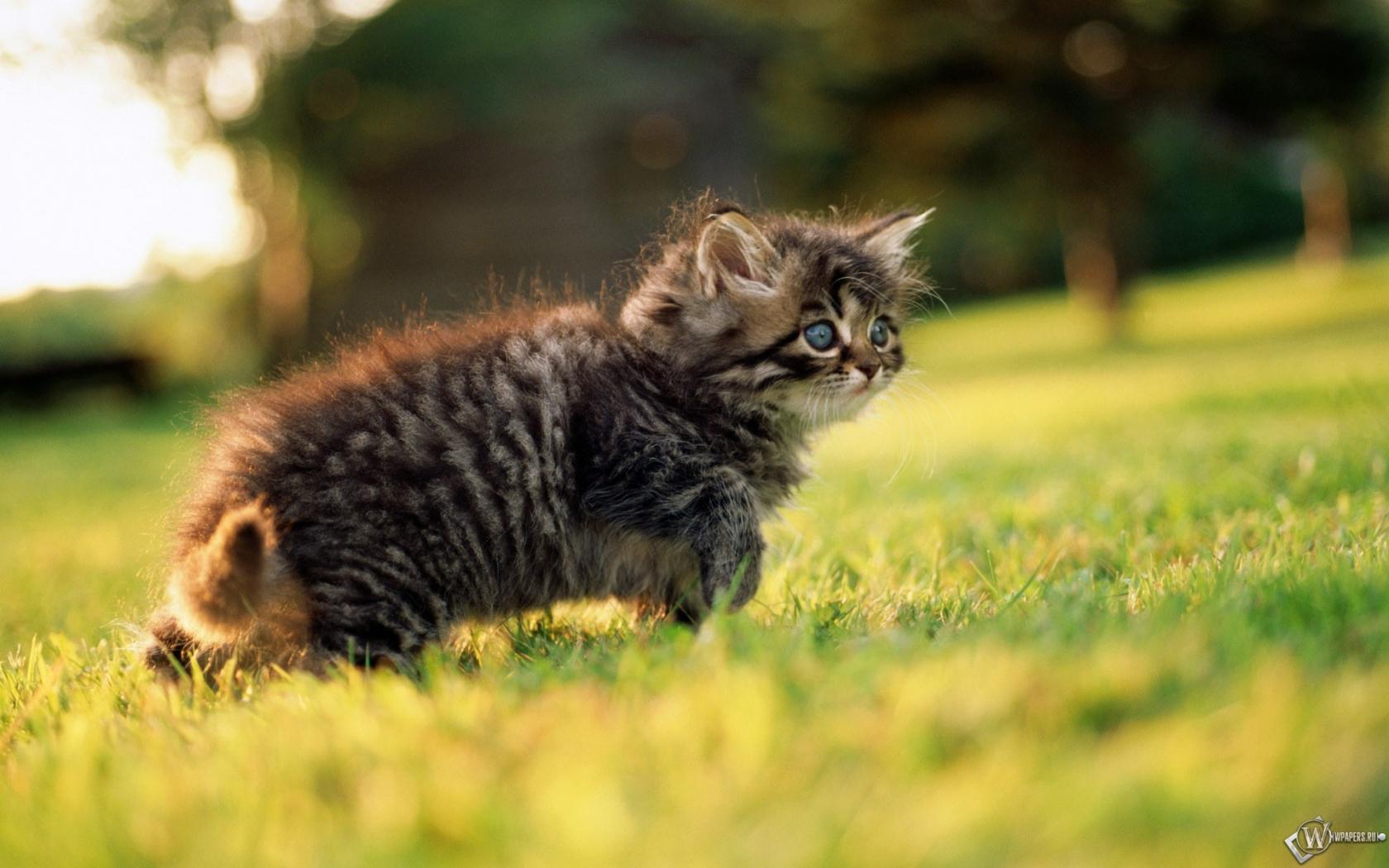 Обои серый котенок на травке котёнок