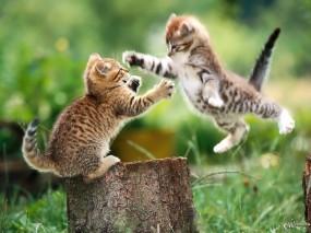 Обои Борьба котят: Котята, Прыжок, Драка, Пень, Кошки