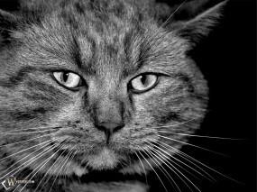 Обои Кошачья морда: Кот, Морда, Кошки