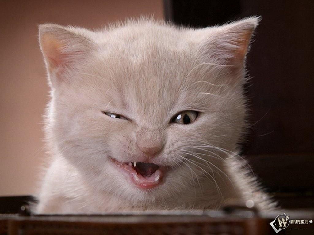 Котенок подмигивает 1024x768