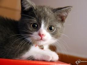 Обои Котенок с колокольчиком : Котеночек, Ошейник, Ушки, Колокольчик, Кошки