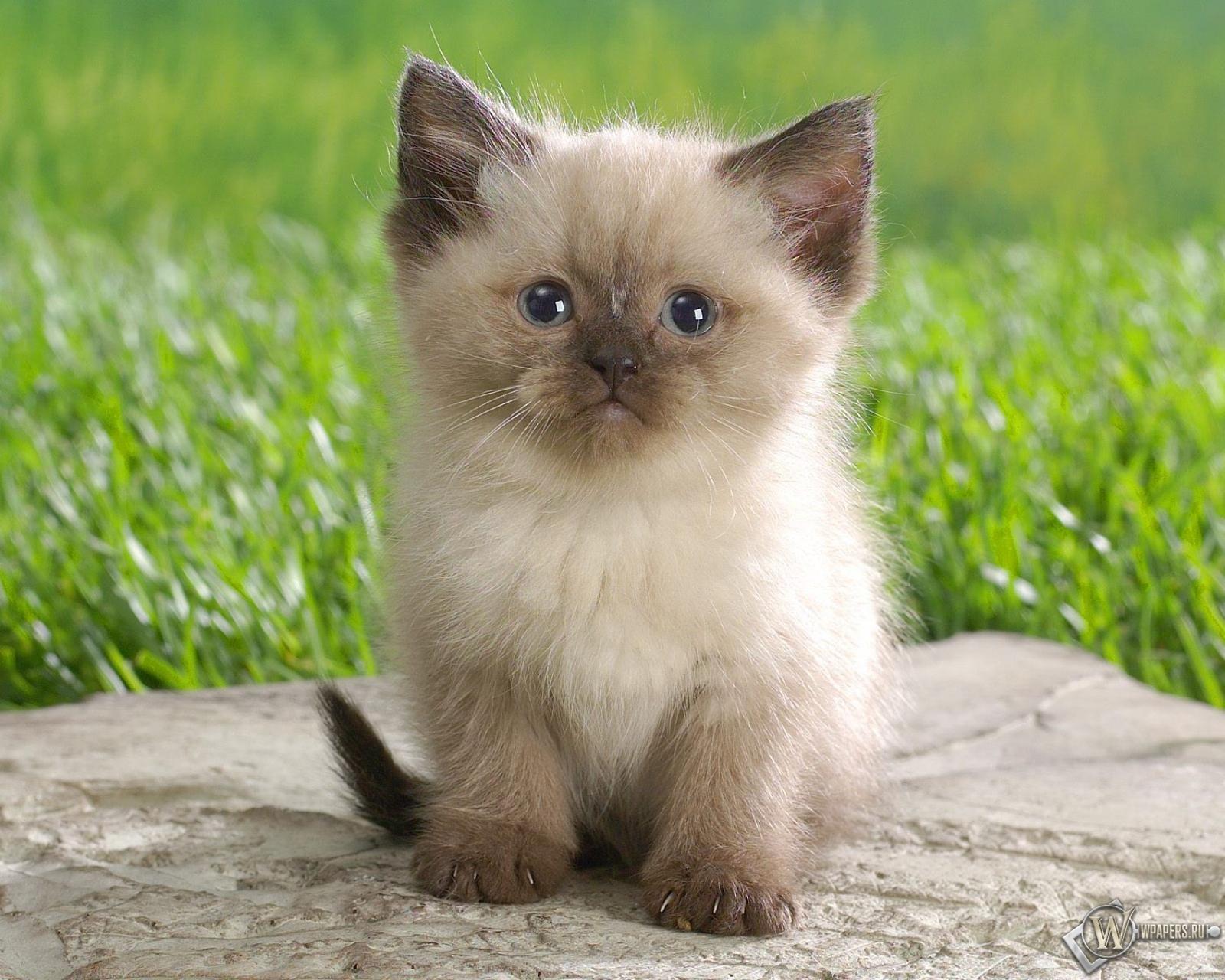 Сеамский кот  № 171577  скачать
