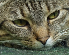 Обои Морда кошки: Морда, Кошка, Усталость, Кошки