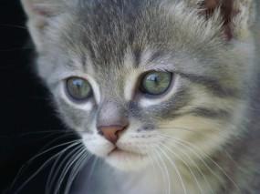 Обои Удивленный котенок: Взгляд, Усы, Котёнок, Удивление, Кошки