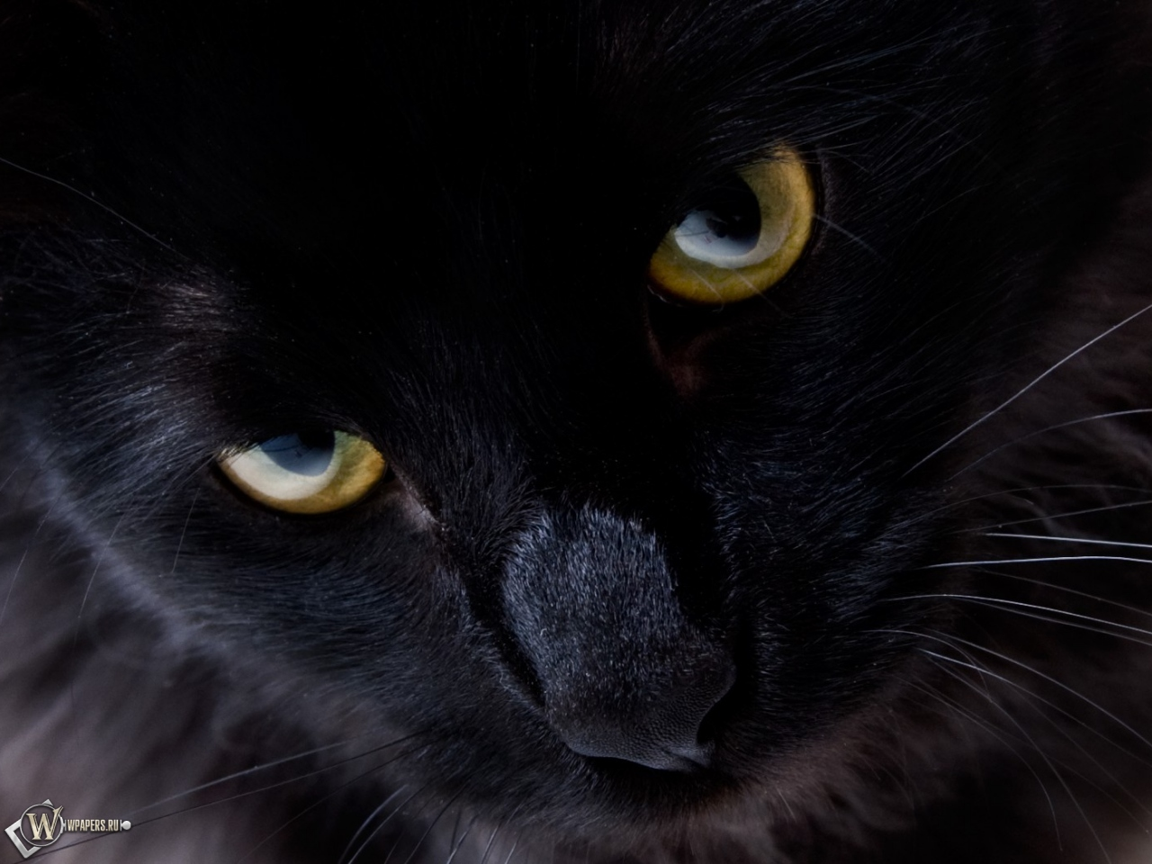 Обои для рабочего стола глаза кошки
