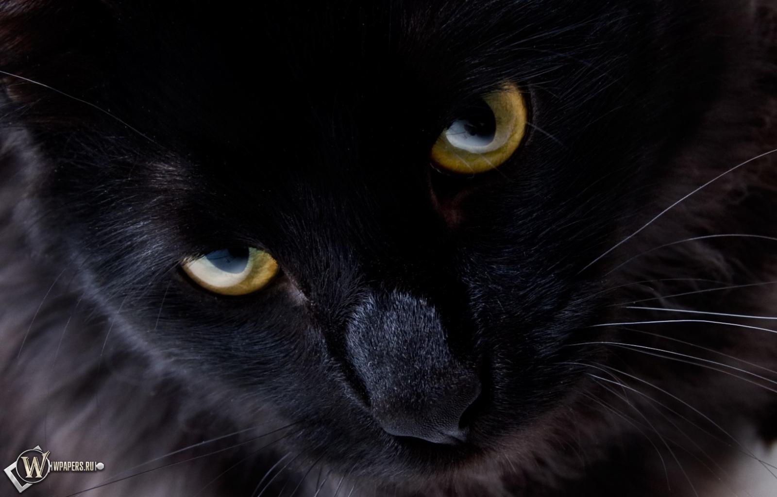 Обои взгляд черной кошки на рабочий
