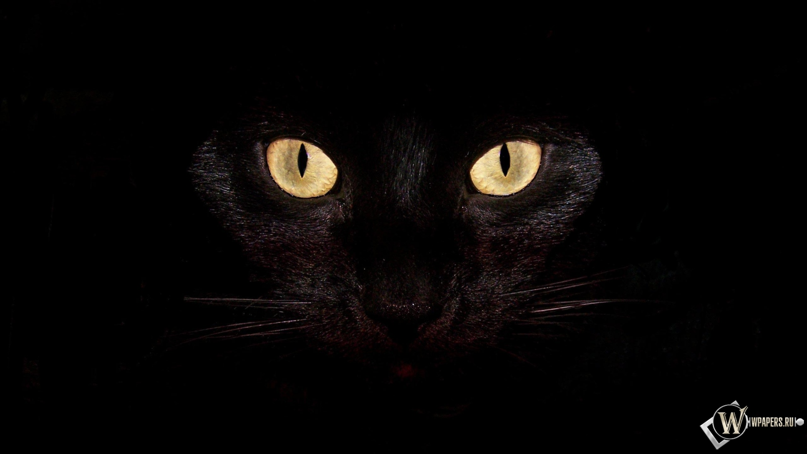 Обои черная кошка на чернофм фоне на