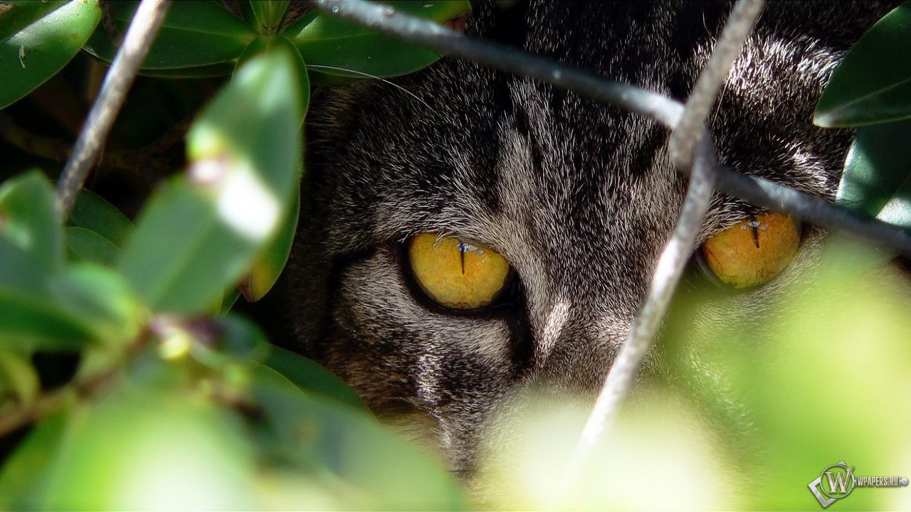 Кот охотник 1280x720