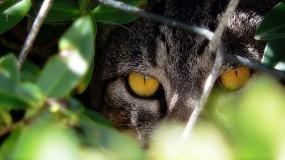 Обои Кот охотник: Взгляд, Кусты, Кот, Решетка, Кошки