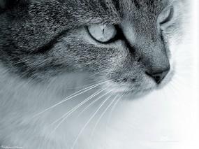 Обои Кошкин взгляд: Взгляд, Кошка, Кошки