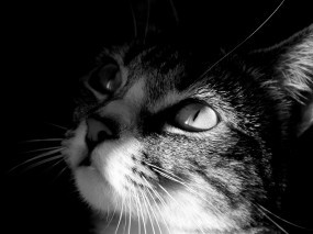 Обои Кот смотрит на свет: Свет, Кот, Ч/б, Кошки