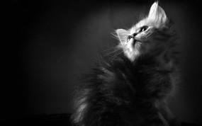 Обои Котенок: Котёнок, Черно-белый, Пушистый, Кошки