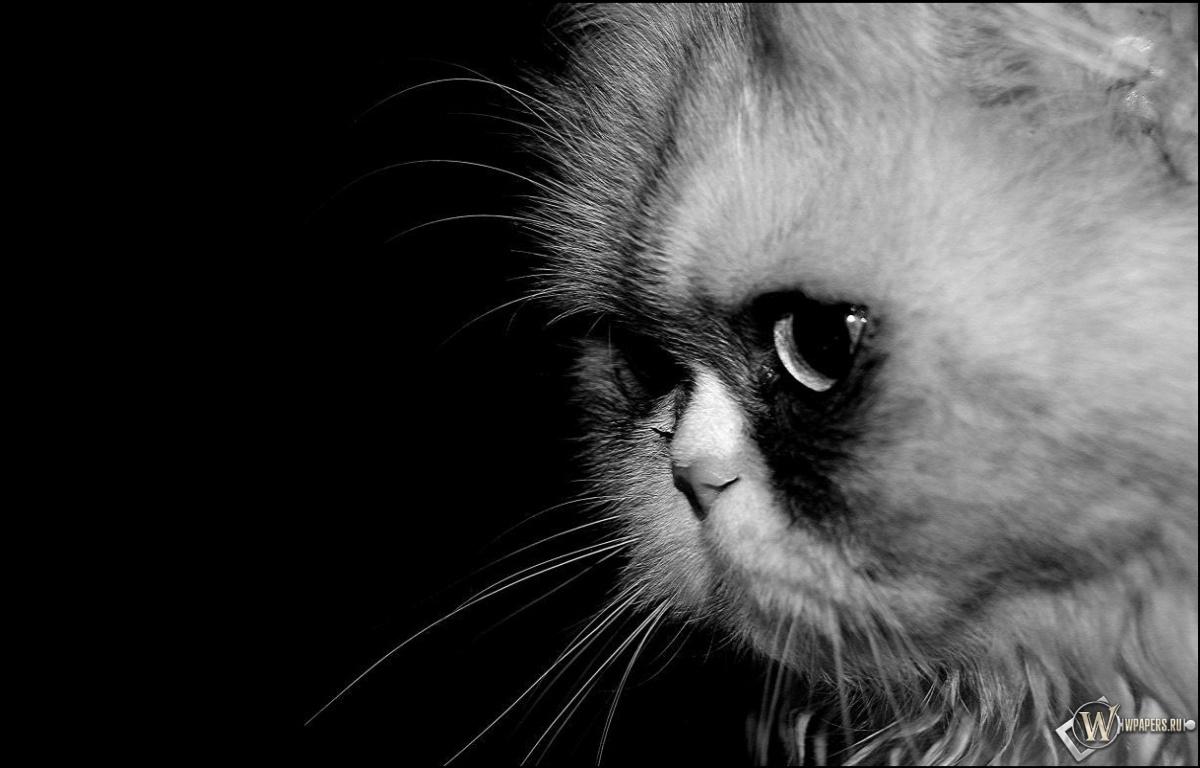 Скачать обои кошка ч/б (Кошка, Макро, Ч/б) для рабочего стола ...