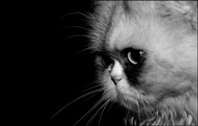 Обои кошка ч/б: Кошка, Макро, Ч/б, Кошки