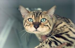 Обои бенгальская кошка: Глаза, Бенгальская кошка, Кошки