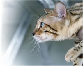 Обои бенгальская кошка: Хищник, Бенгальская кошка, Кошки