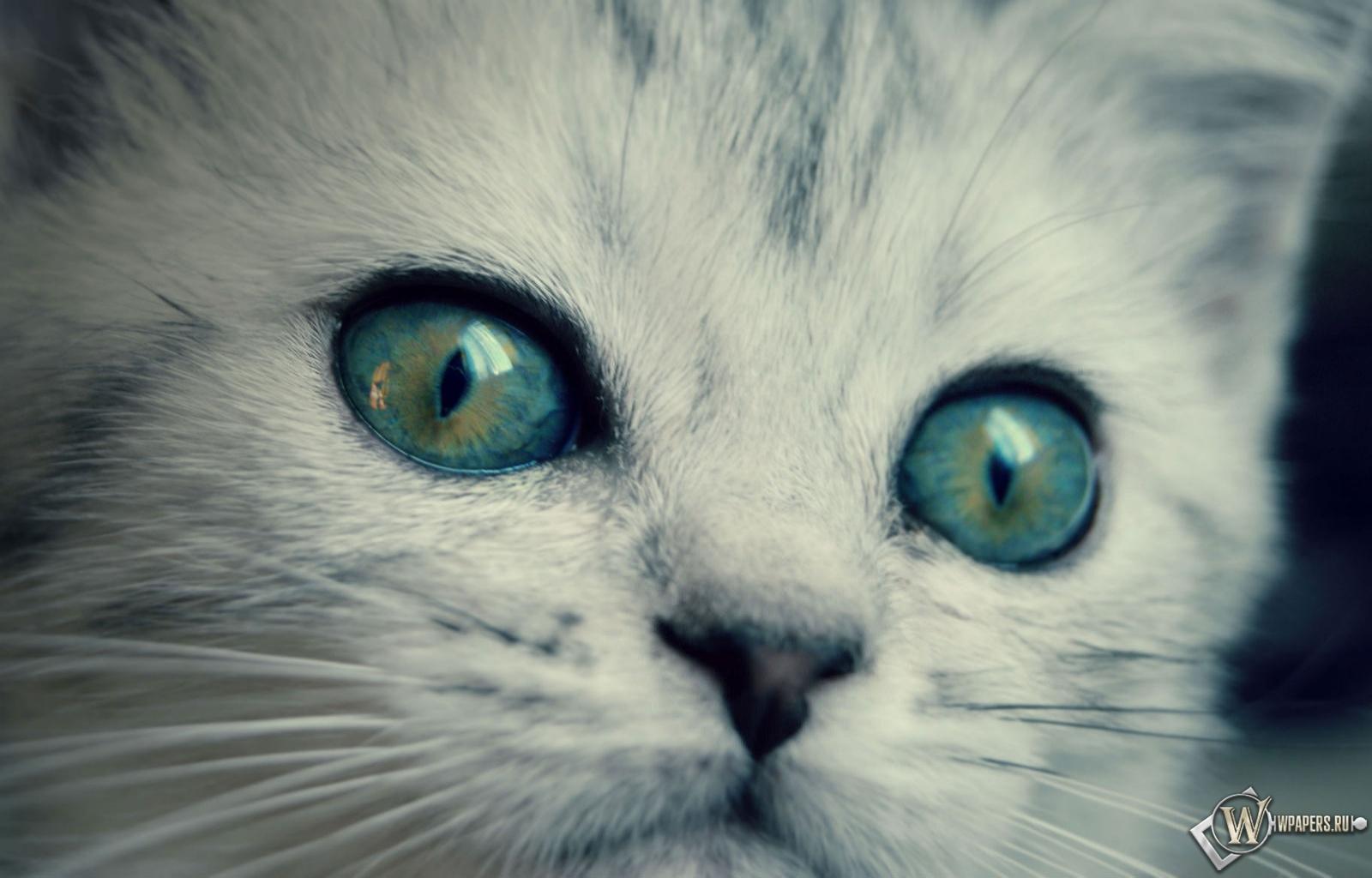 котенок с желто-голубыми глазами 1600x1024