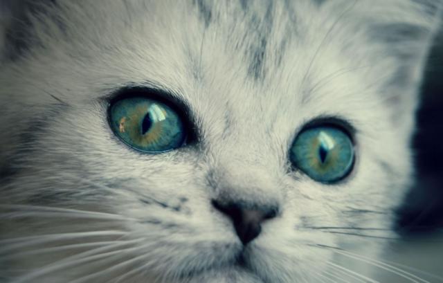 котенок с желто-голубыми глазами
