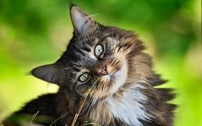 Обои Любознательный кот: Взгляд, Кот, Интерес, Кошки