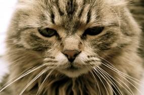 Обои Уставший кот: Кот, Усталость, Кошки