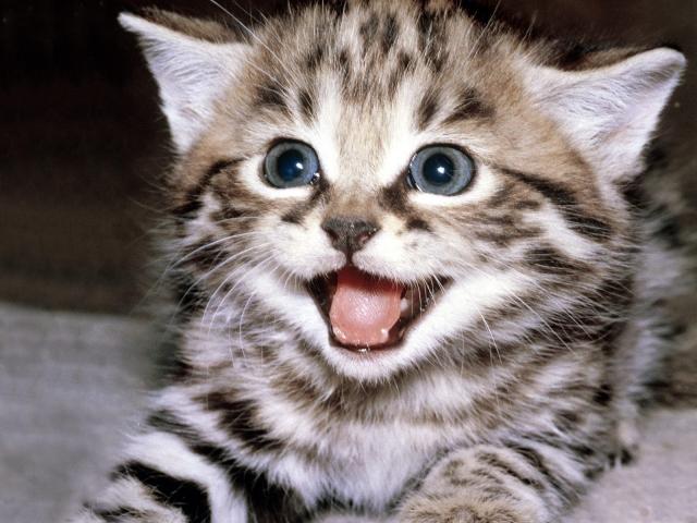 Шипящий котенок
