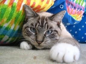 Обои Кошачья лапа: Кот, Лапа, Игра, Кошки