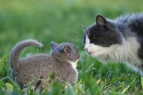 Обои Кошка с котёнком: Трава, Кошка, Котёнок, Кошки