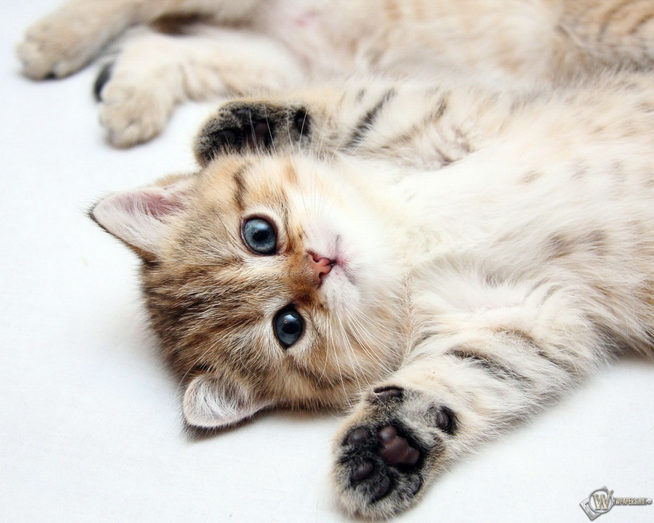 Обои котята котята 1280x1024 картинки