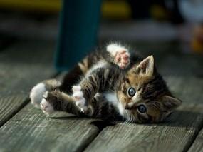 Обои Валяющийся котенок: Отдых, Котёнок, Игра, Кошки