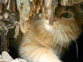 Обои Котенок за корягой: Котёнок, Коряга, Кошки