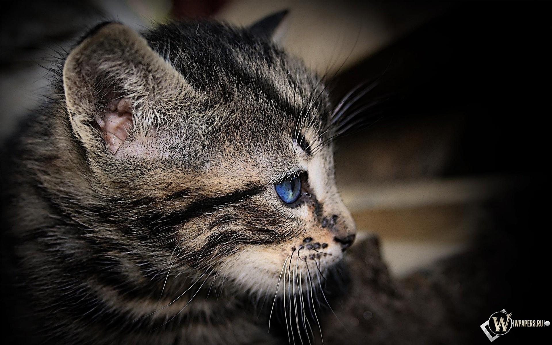 Котенок с голубыми глазами 1920x1200