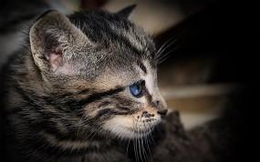 Обои Котенок с голубыми глазами: Голубые глаза, Котёнок, Кошки