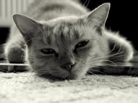 Обои Кошара отдыхает: Кошка, Отдых, Лень, Кошки