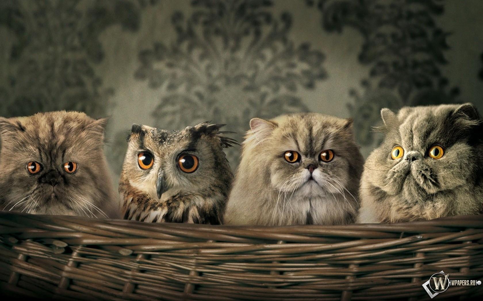 Сова среди котов 1680x1050