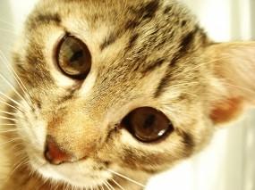 Обои Полосатый котик: Кот, Мордашка, Кошки