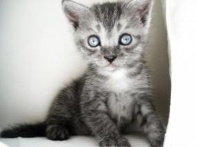 Обои Котенок: Котеночек, Серый, Котёнок, Мордашка, Кошки