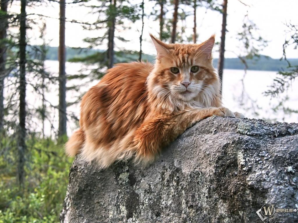 Мейнкун кошки фото 3