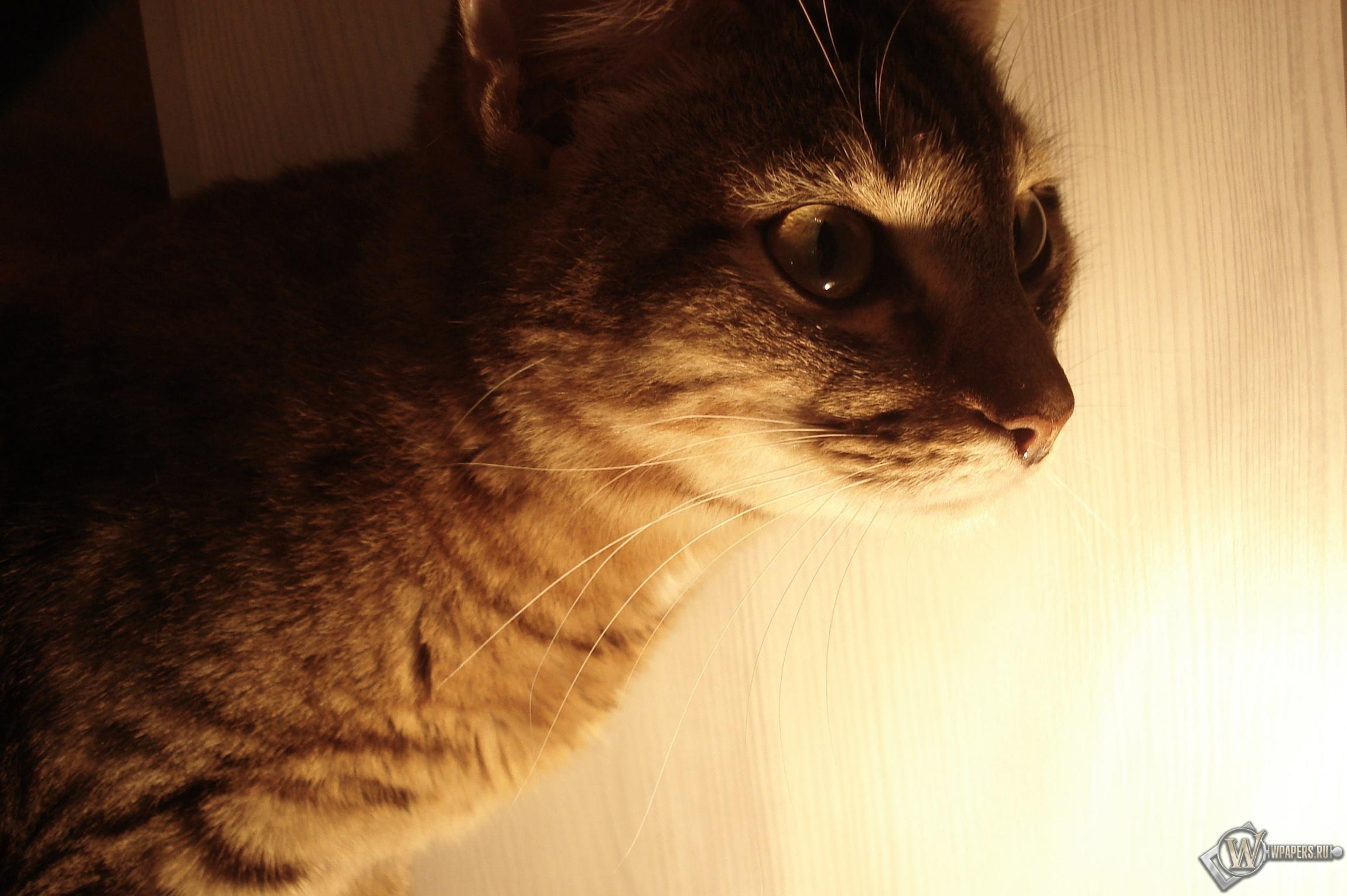 Полосатый кот 2300x1530