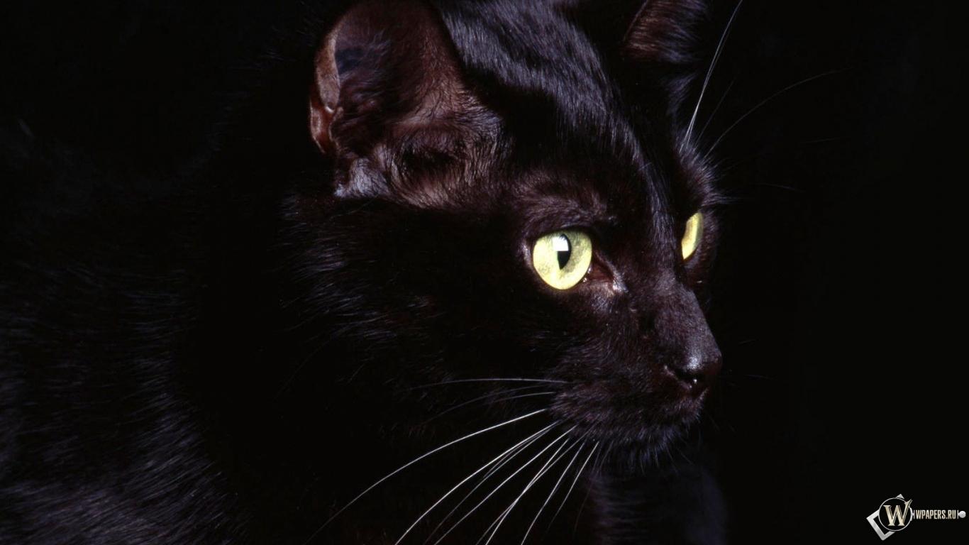 Обои чёрная кошка чёрная кошка 1366x768