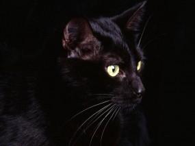 Обои Чёрная кошка: Чёрная кошка, Кошки