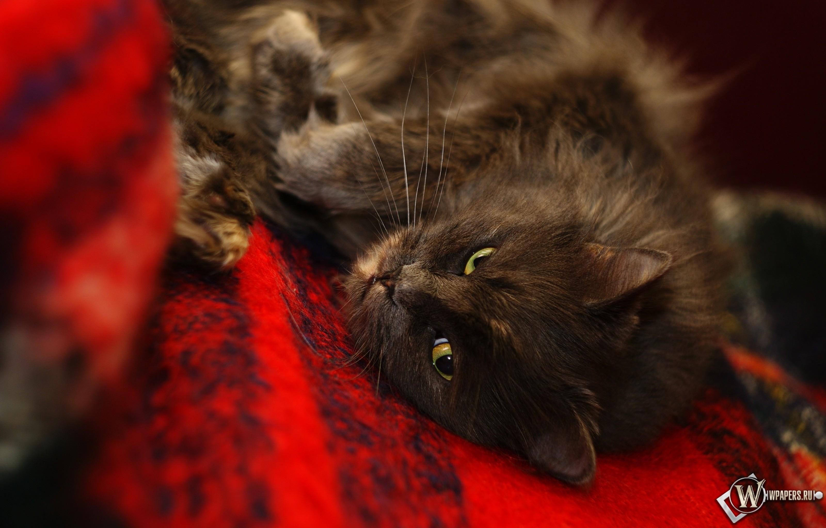 Черная кошка 3200x2048