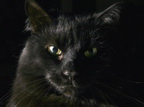 Обои Чёрный кот: Чёрный кот, Кошки