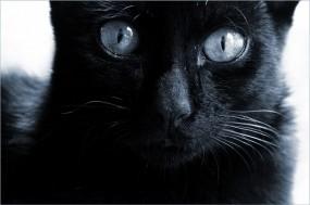 Обои Черная кошка : Глаза, Взгляд, Чёрная кошка, Кошки
