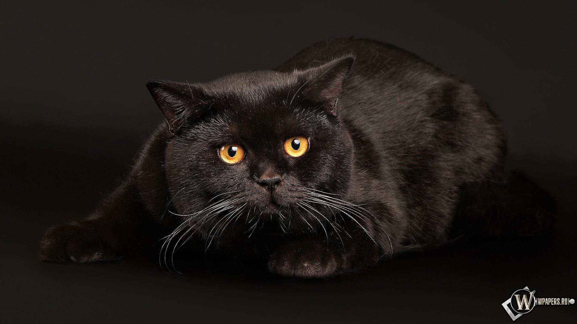 Черный кот играет 1920x1080