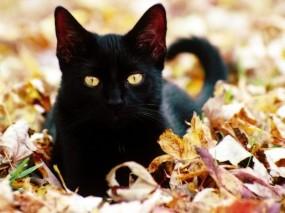 Обои Чёрная кошка в листве: Листва, Чёрная кошка, Кошки