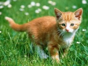 Обои Рыжий котенок в траве: Трава, Котёнок, Рыжий, Кошки