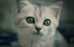 Обои Котёнок Кекс: Глаза, Котёнок, Британец, Кошки