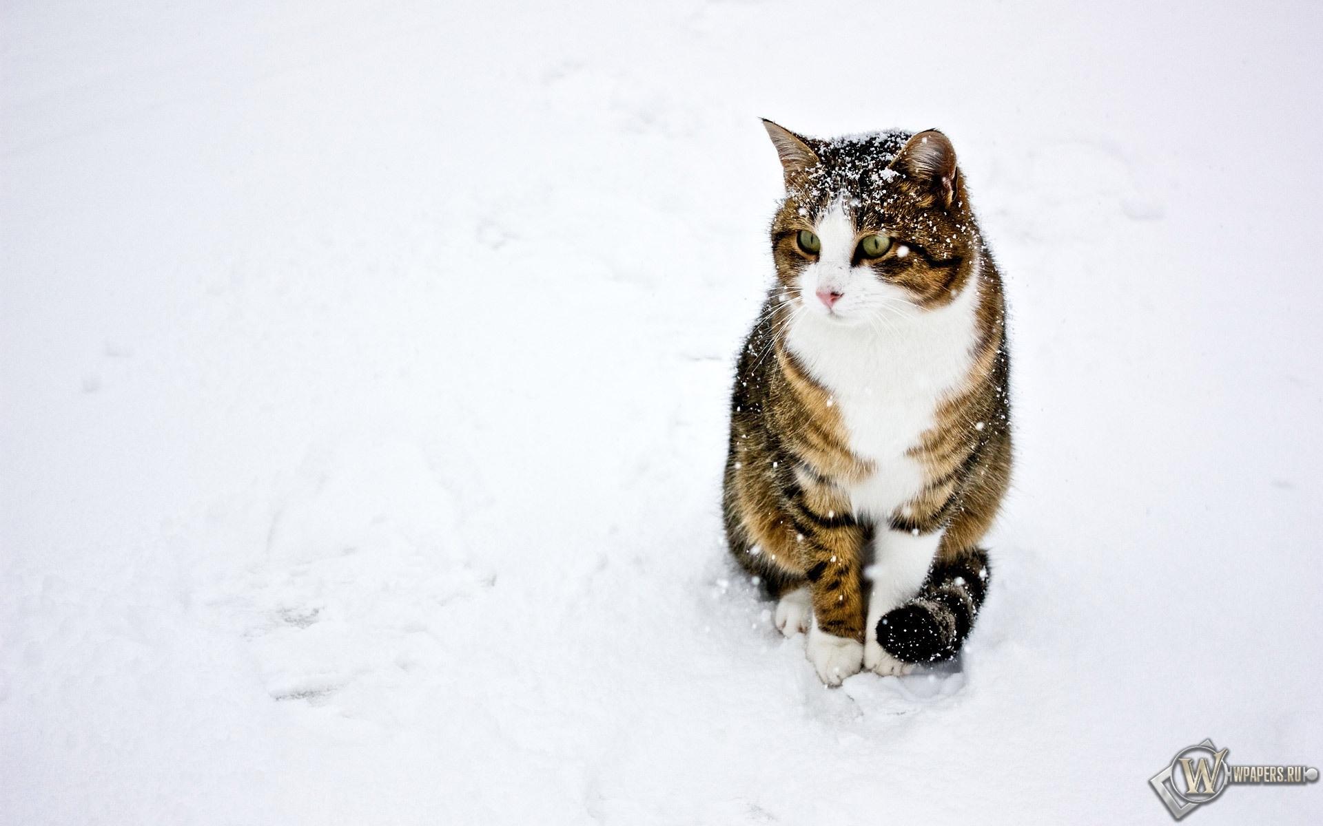 кот на снегу 1920x1200