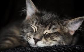 Обои кот спит: Кот, Сон, Мордашка, Кошки