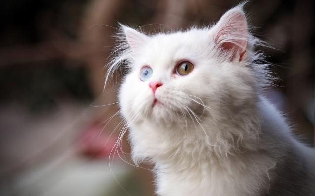 Глаза взгляд кот белый wpapers ru wallpapers